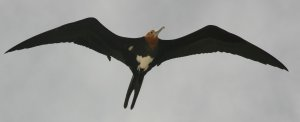 The Greater Frigate Bird